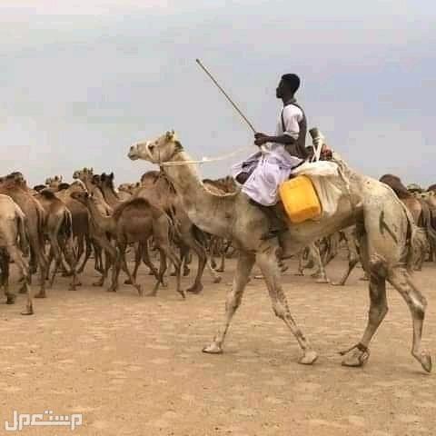 راعي ابل من السودان نجيض