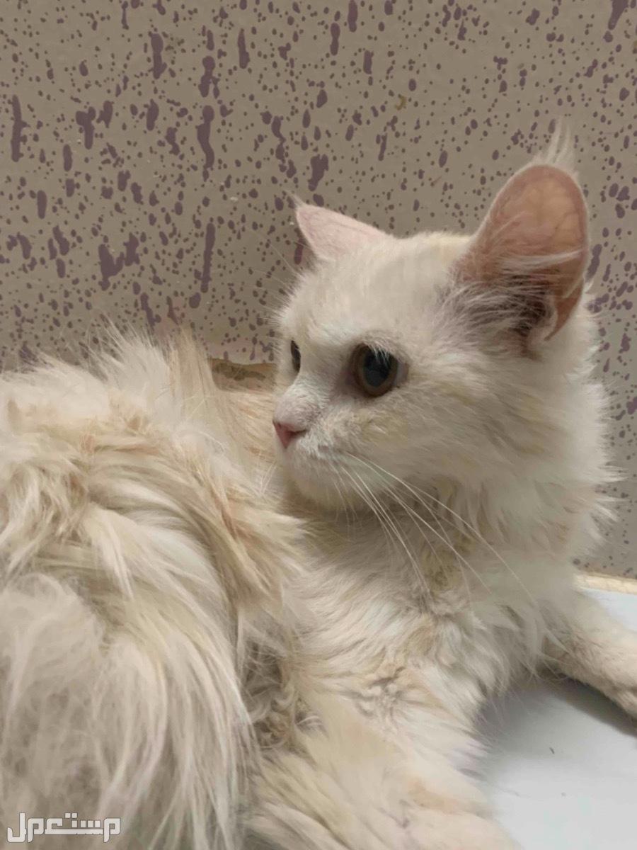 بيع قطط ع السوم شراريه عمرها 7اشهور