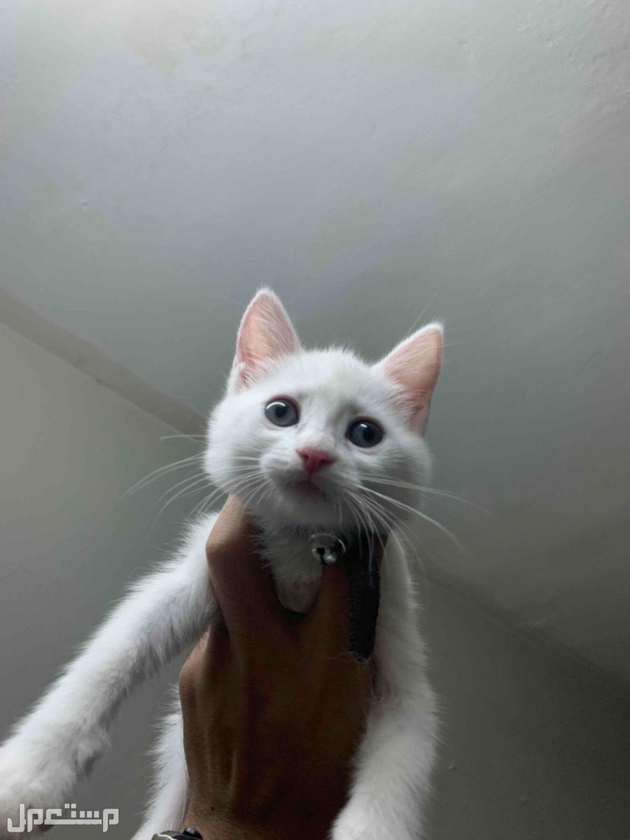 بيع قطط ع السوم شرازيه عمرها شهر