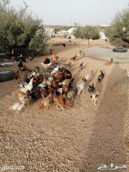 دجاج بلدي البيع نظيفه