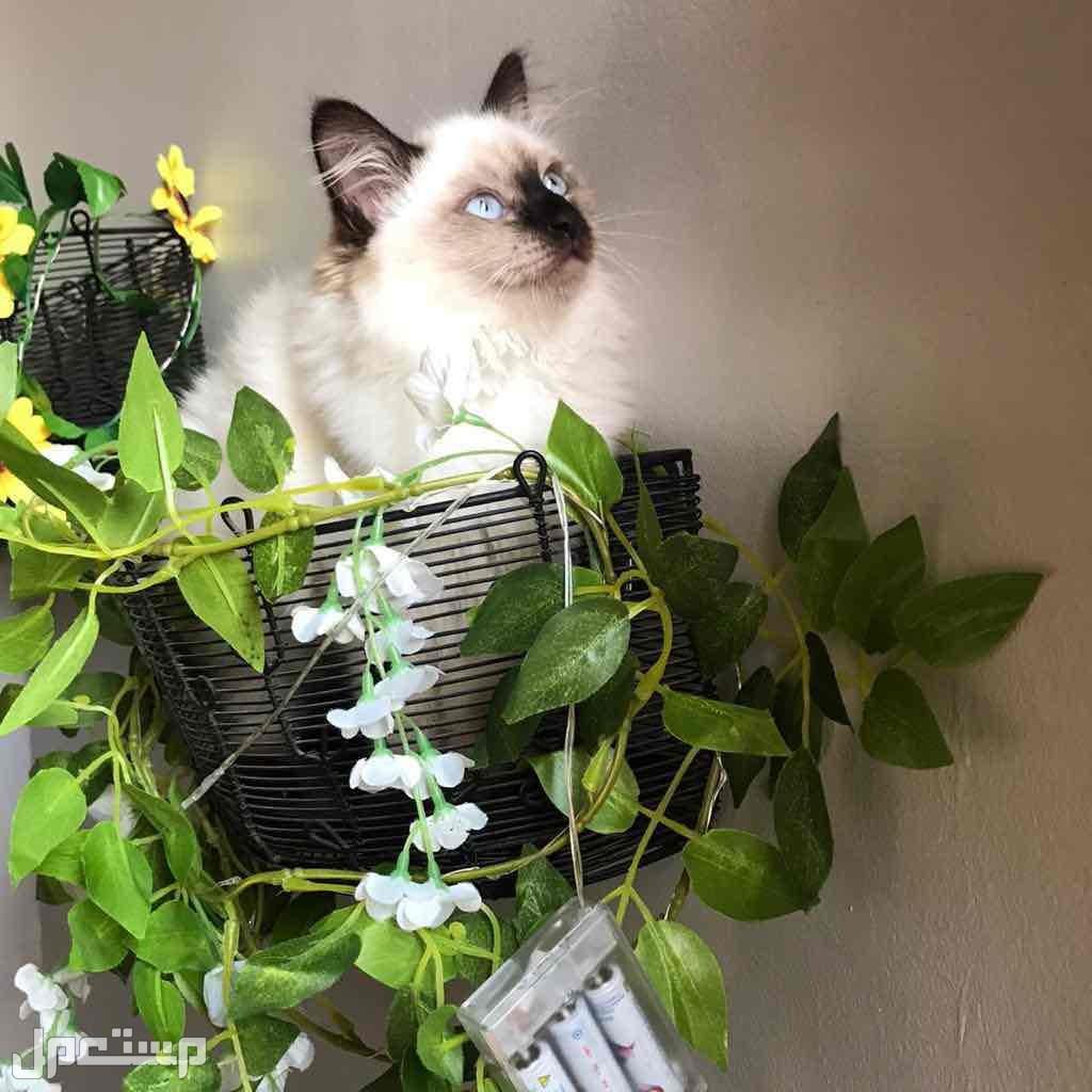 قطة هملايا شوكليت كيتن
