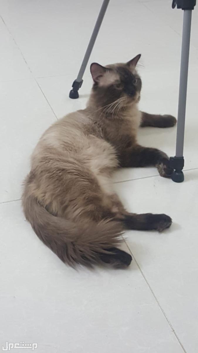 قطط للبيع هيملايا