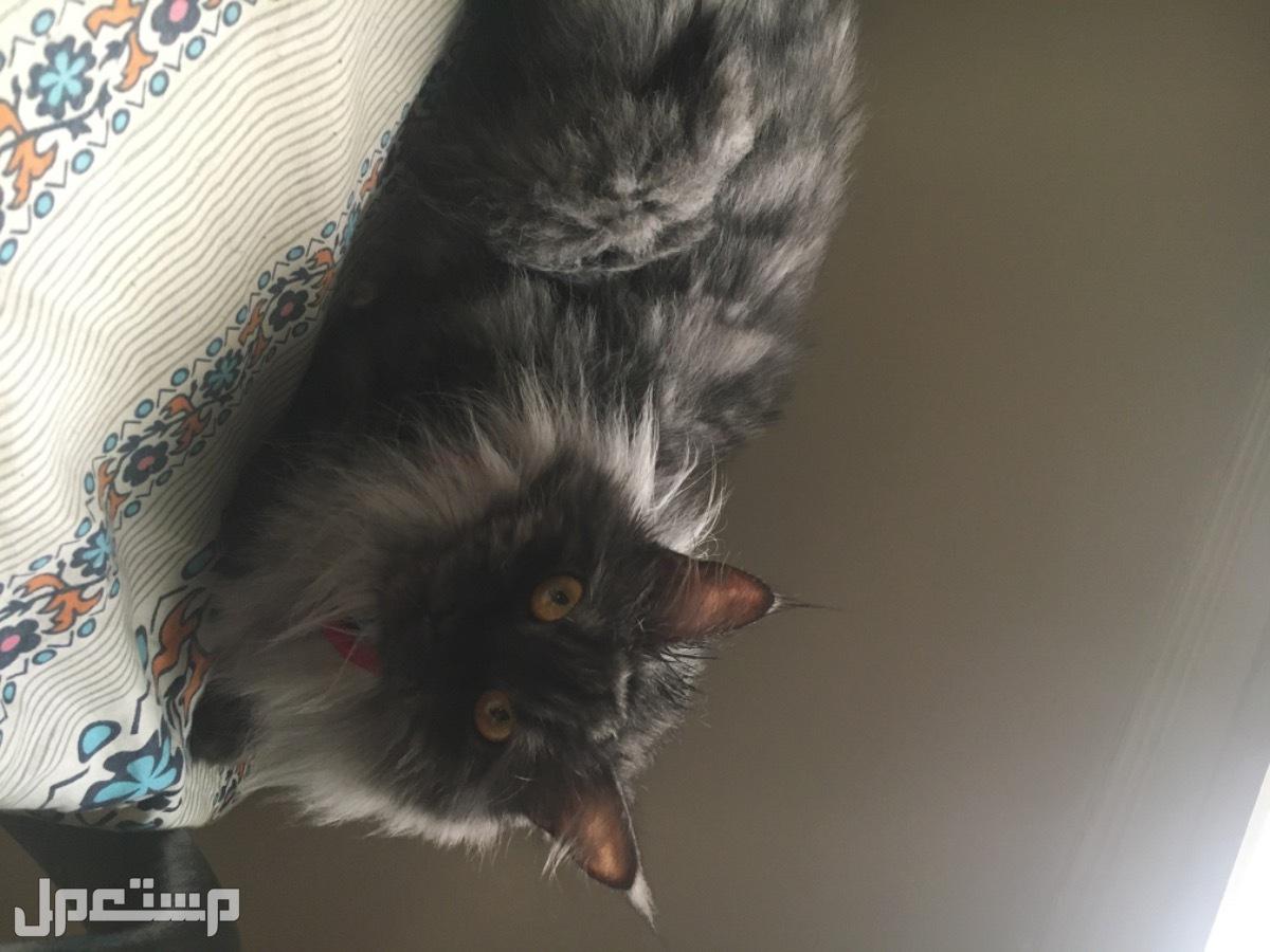 قطة هملايا مميزة