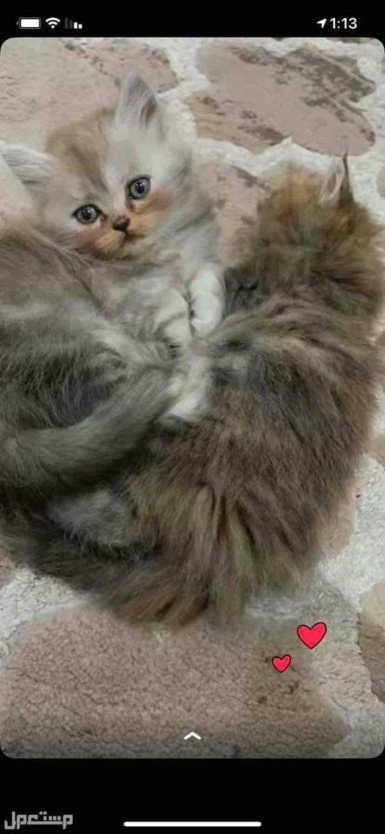 قطط شيرازية 4 مع امهم