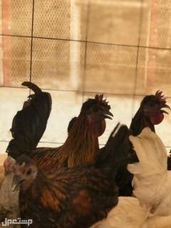 دجاج كويتي عربي قصيروطويل
