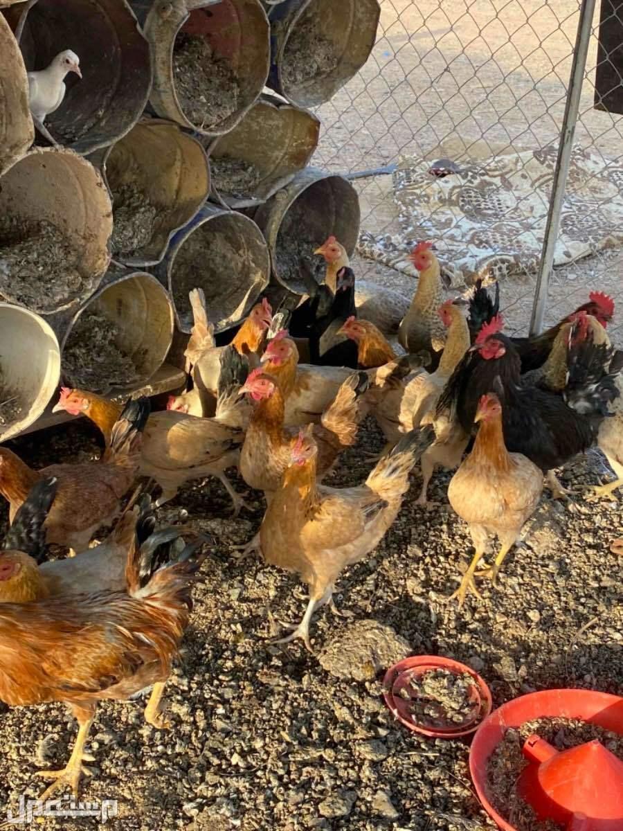 بيع دجاج بياض