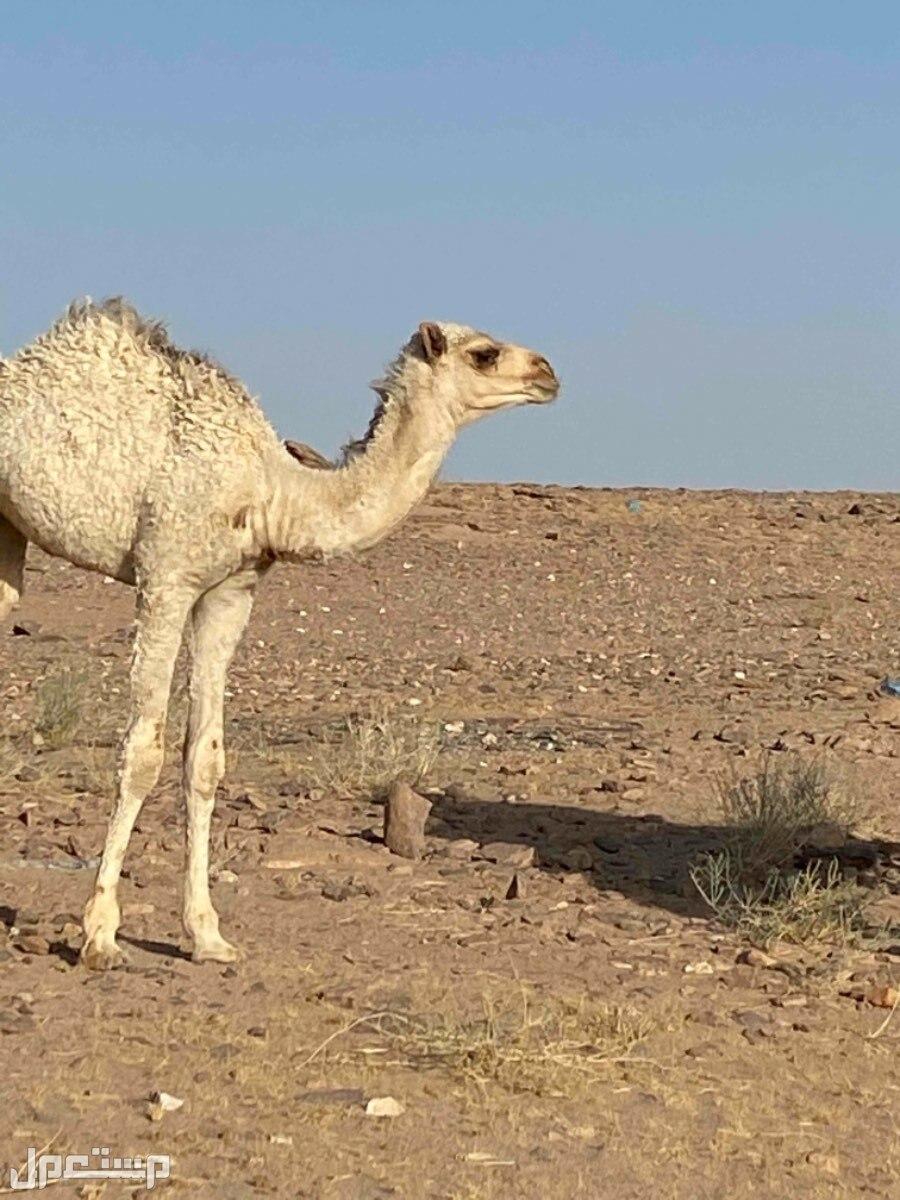 ناقة خلفه صفراء ام 5 تحتها بكره