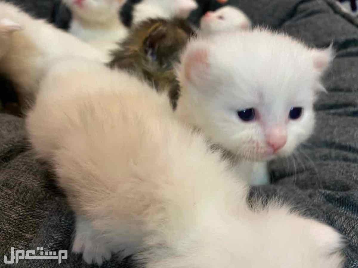 قطط من اب سكوتش وام شيرازي