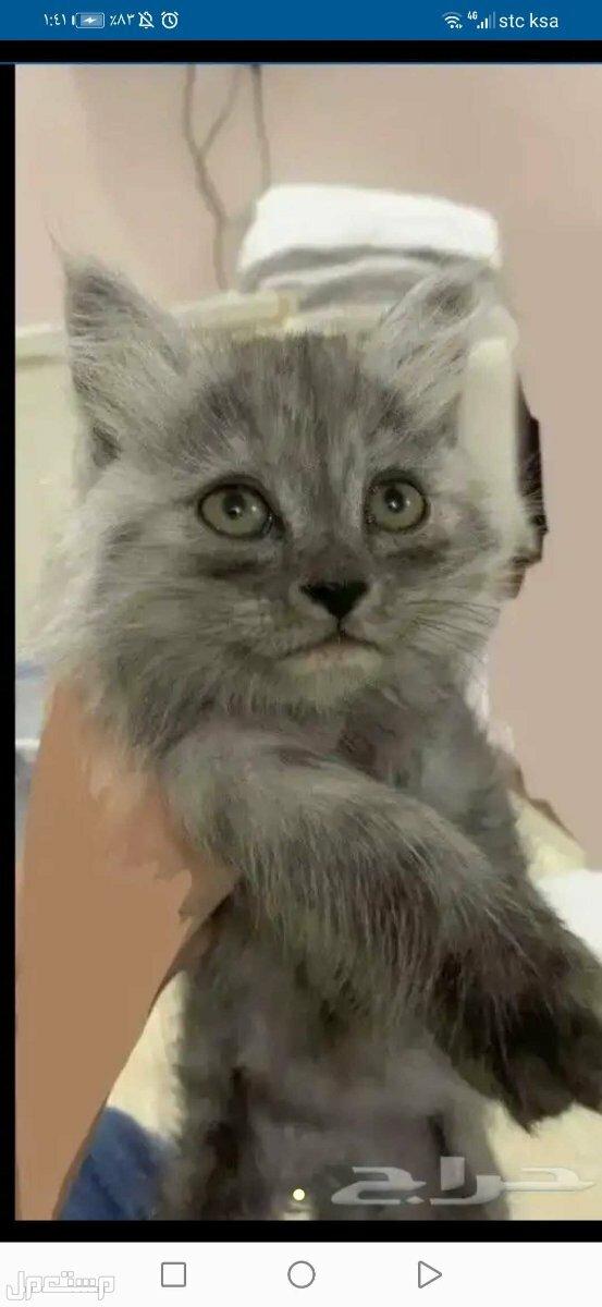 قطه شيرازي انثى عمرها شهرين مع مستلزماتها ب 700 بدون مستلزمات ب 400