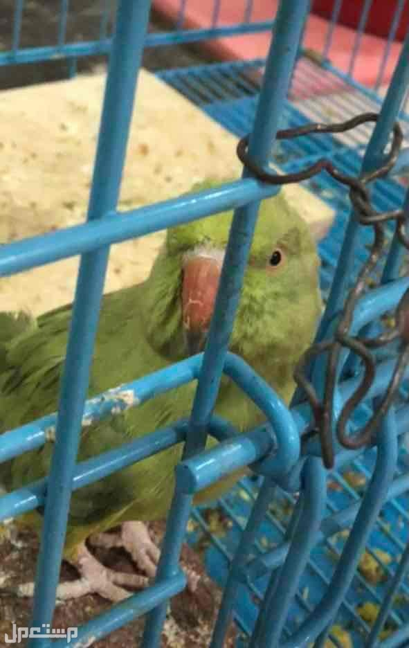 طير دره هنديه لبيع