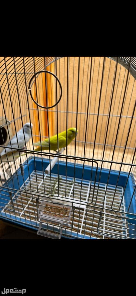 2 جوز طيور الحب