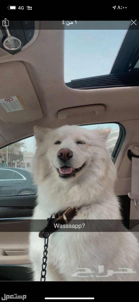 كلب للبيع هاسكي سامويد