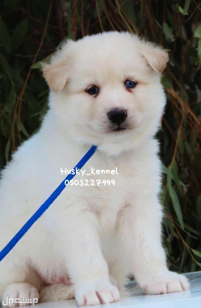كلب للبيع هاسكي سامويد هنا عمره 45 يوم