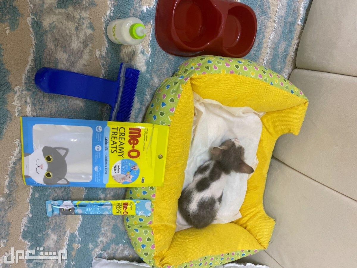قطه صغيره للبيع. مع ملتزماتها