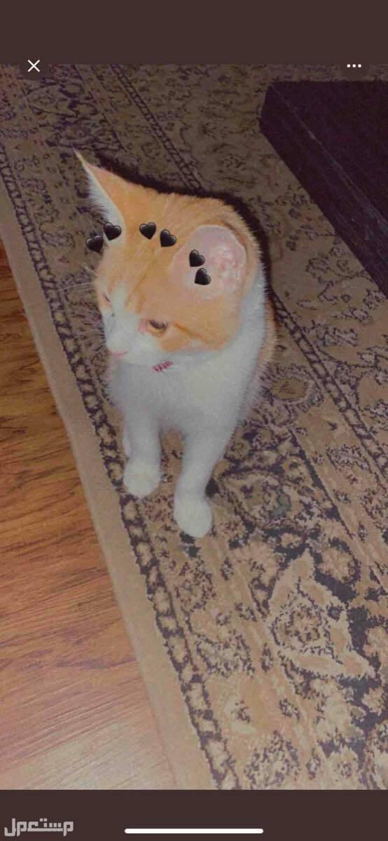 قطط للبيع بوسي