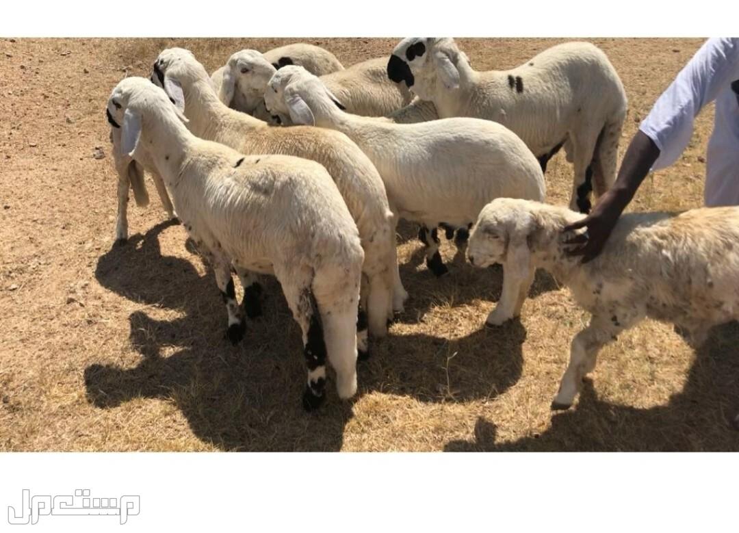 لحم سواكني من مراعي السودان (مبرد) بأسعار منافسه