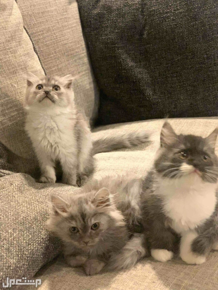 قطط كيتنز 3 ذكور سكوتش مهجن