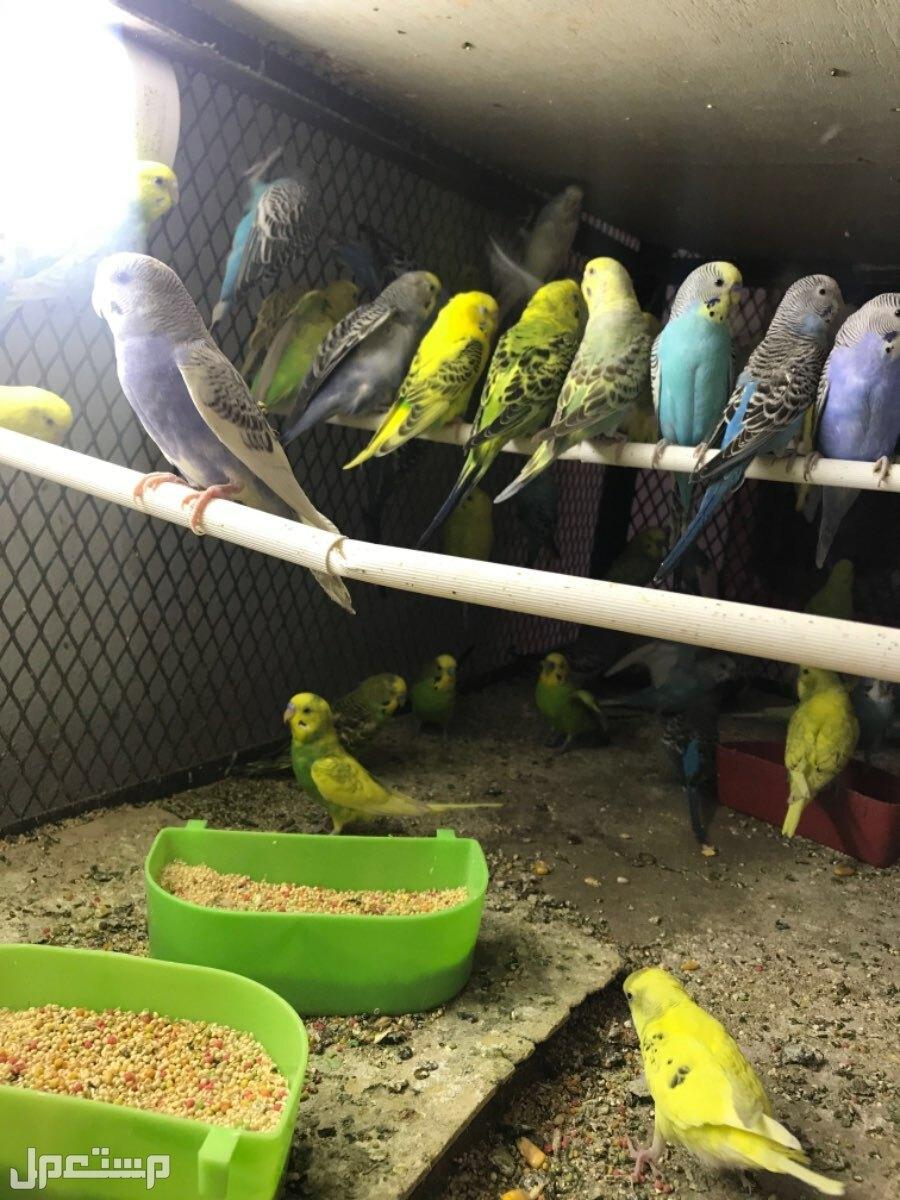 طيور الحب جوز