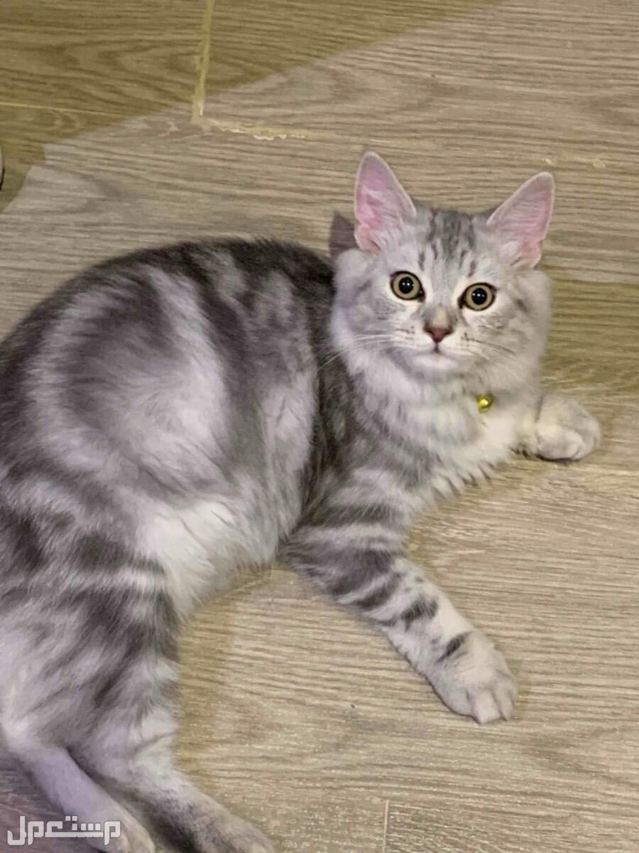 قطط شيرازية