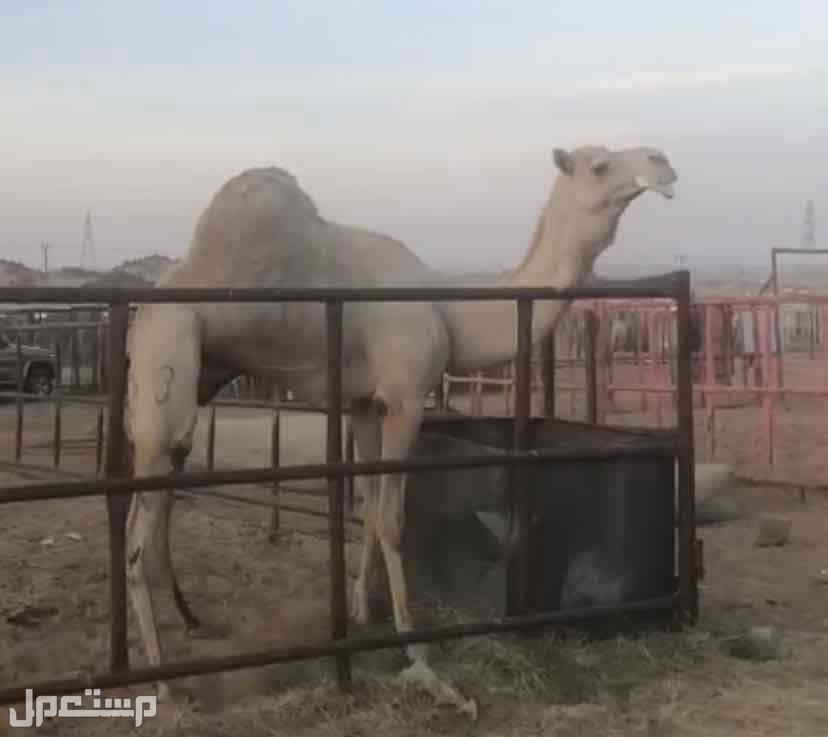 فحل هجن سوداني سابق بذراعة
