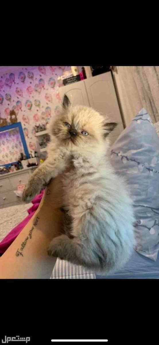 قطط هيملايا شوكليت للبيع