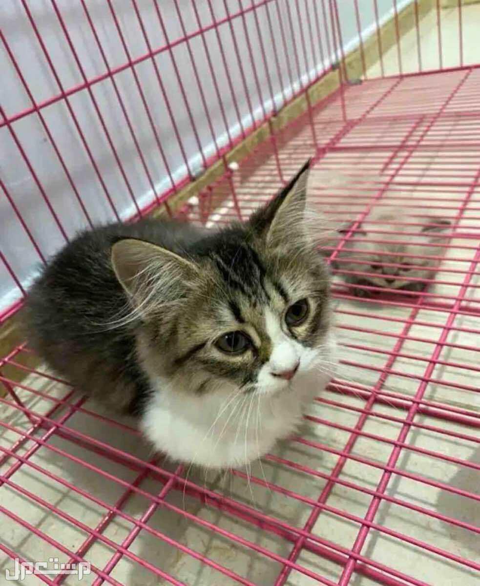 قطه شيرازي انثى للبيع