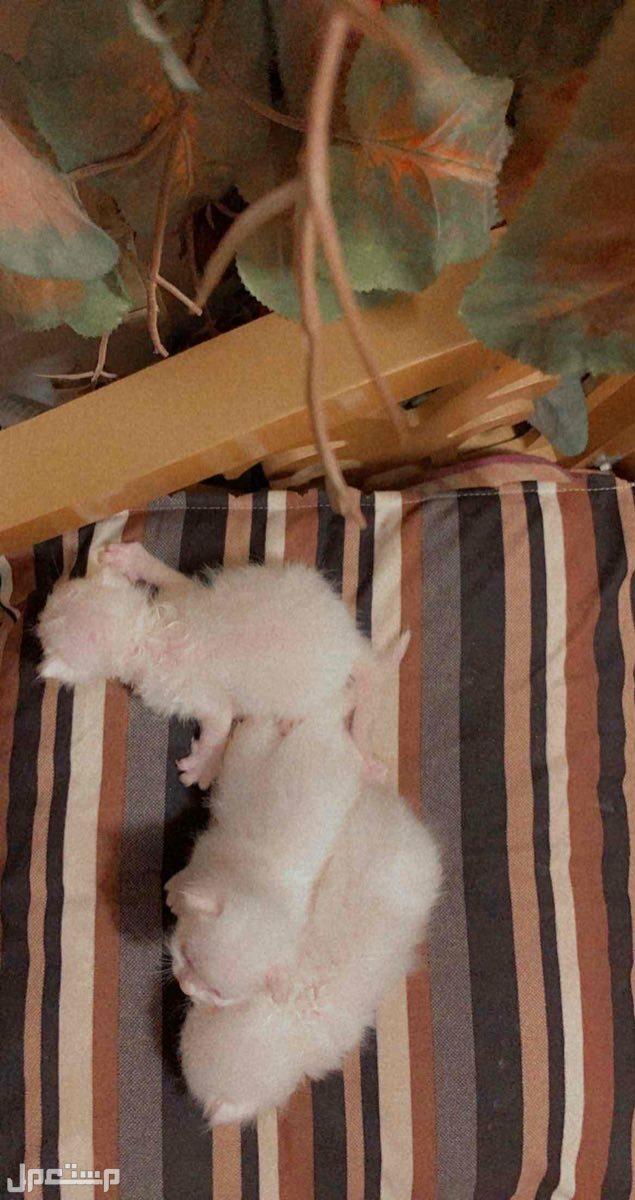 قطه شيرازيه وعيالها نظيفه جدا