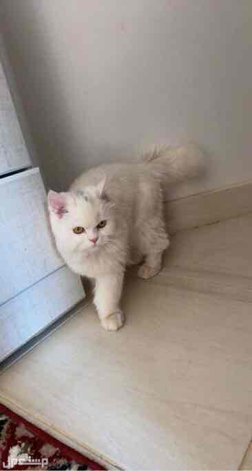 قط شيرازي للبيع مع اغراضه بالمجمعة واستطيع توصيلها للرياض