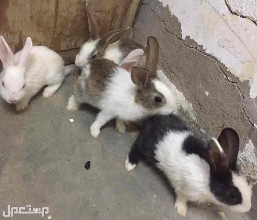 ارانب للبيع