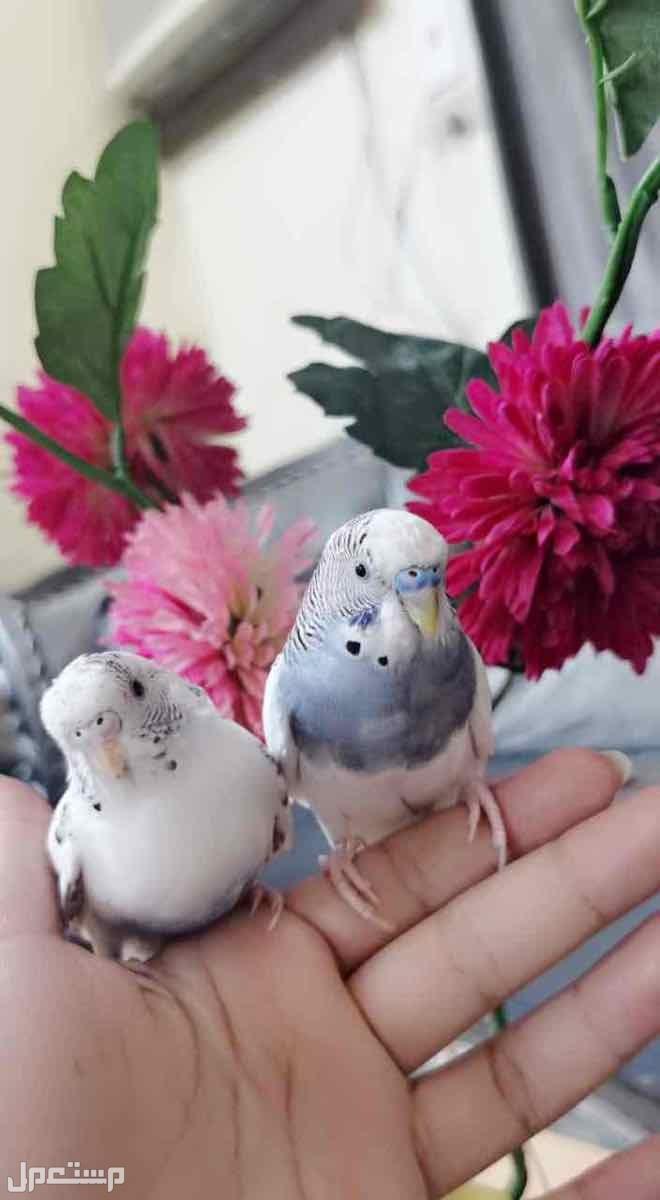 للبيع طيور الحب الاليفه