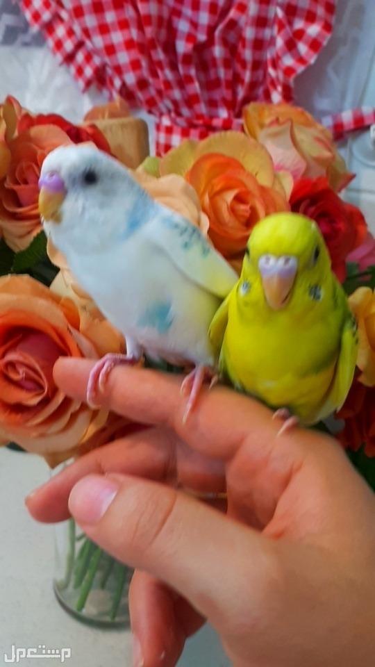 زوج طيور الحب اليف مايعض مناسب للاطفال