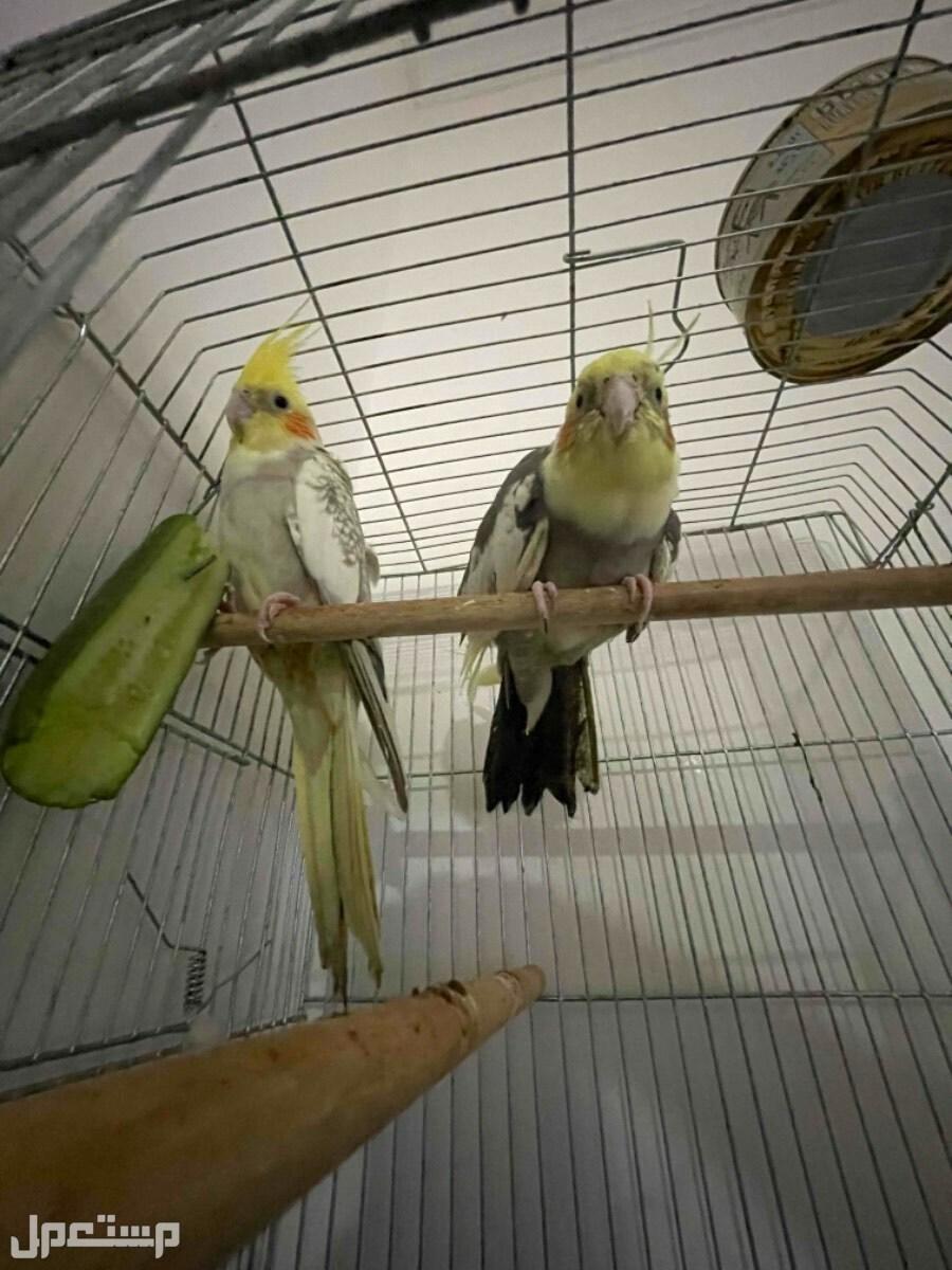 طيور كروان كوكتيل للبيع