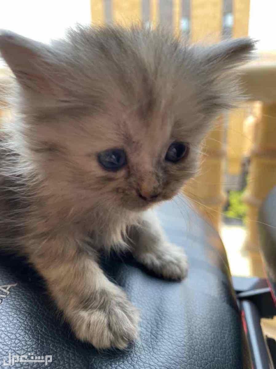 قطه شيرازي بيع مستعجل كيتن