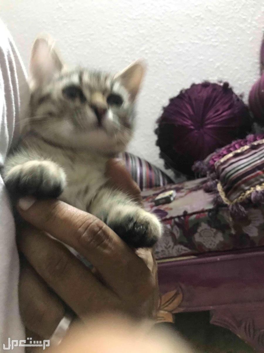 قطتين شيرازي قايمر صغيره