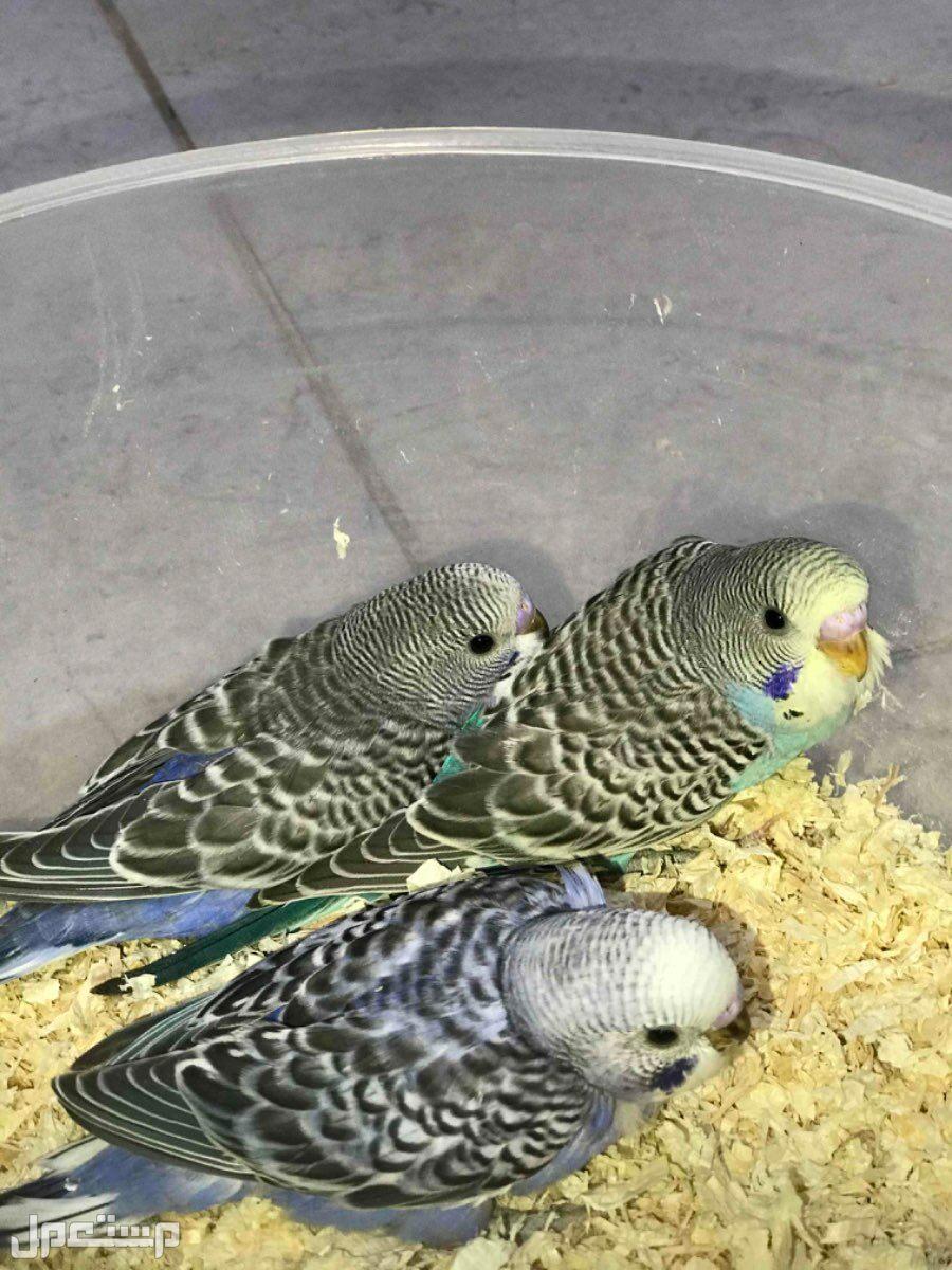 طيور الحب او طيور البادجي