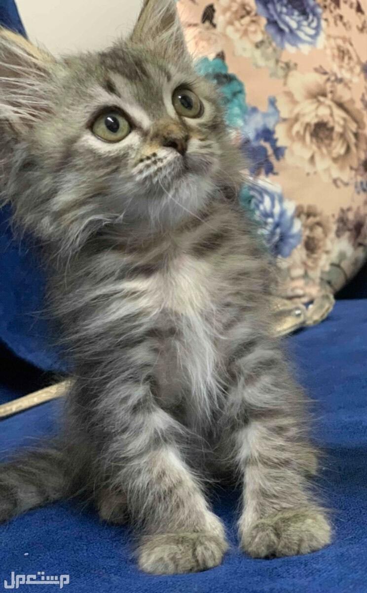 قطة صغيرة للبيع مع مستلزماتها بالرياض.