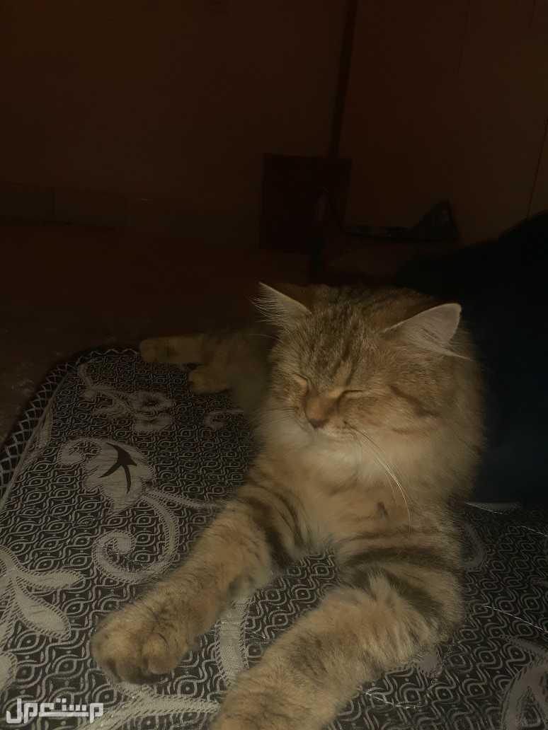 قطه شيرازية أنثى
