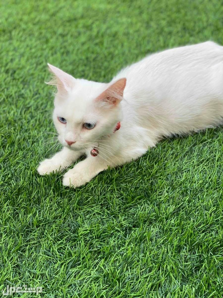 قطة شيرازية للبيع مستعجل