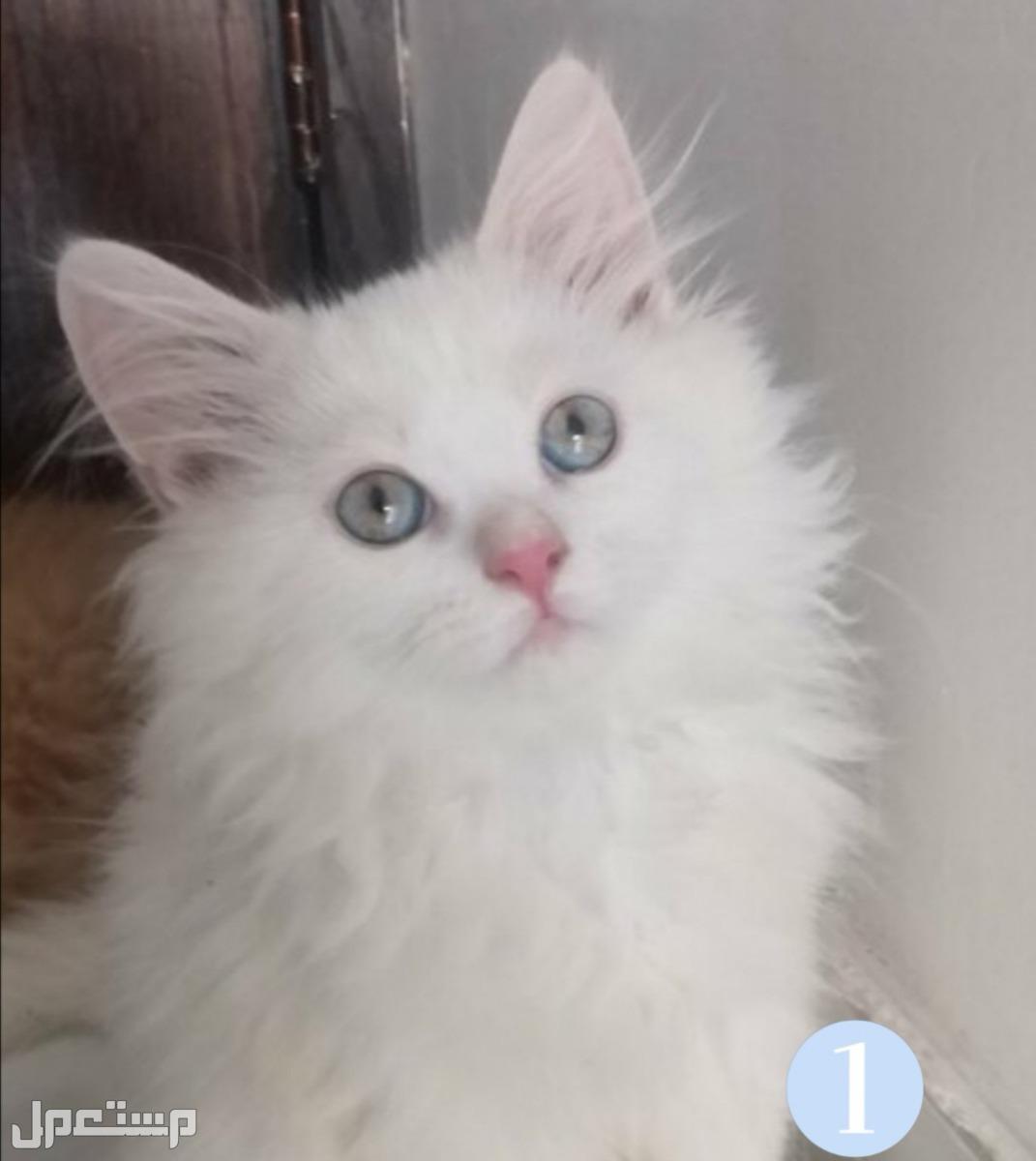 قابل للتفاوض قطط شيرازي