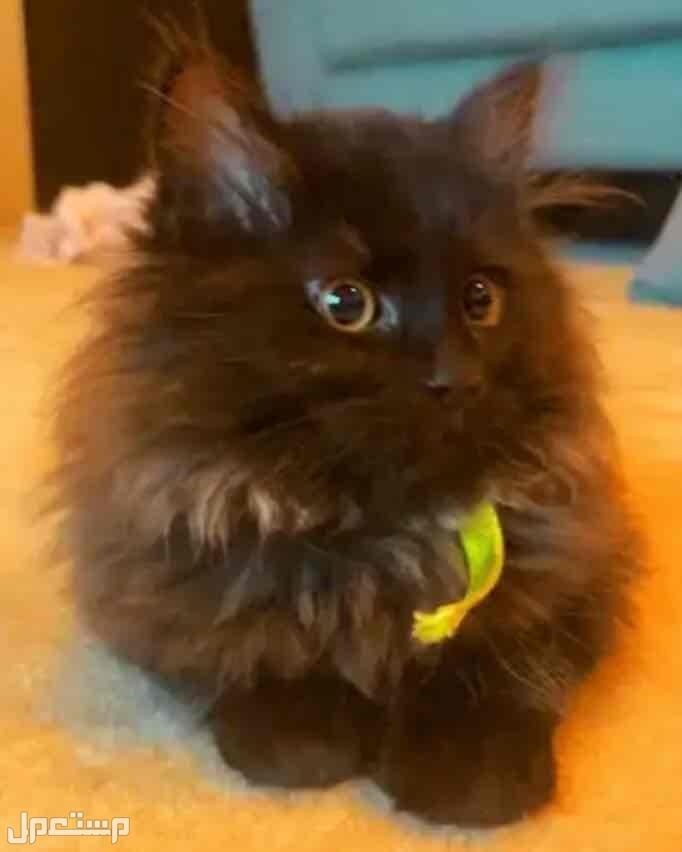 للبيع قطط شيرزاي