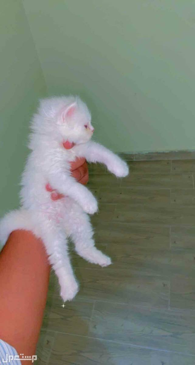 قطط كيتن
