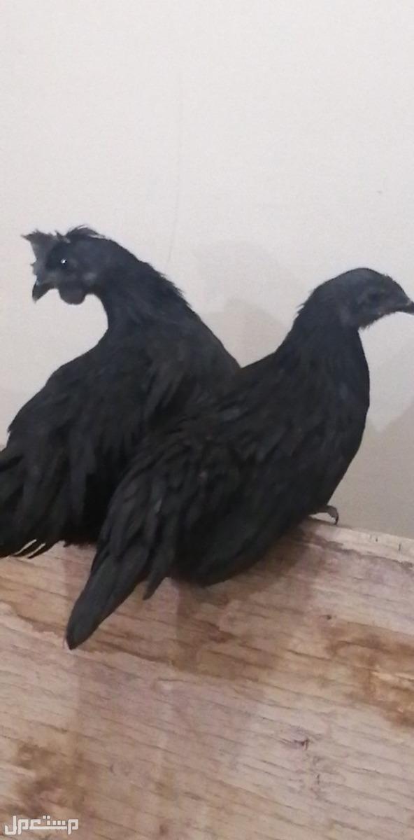 دجاج إندونيسي ديك ودجاج العمر تقريبا 4 شهور