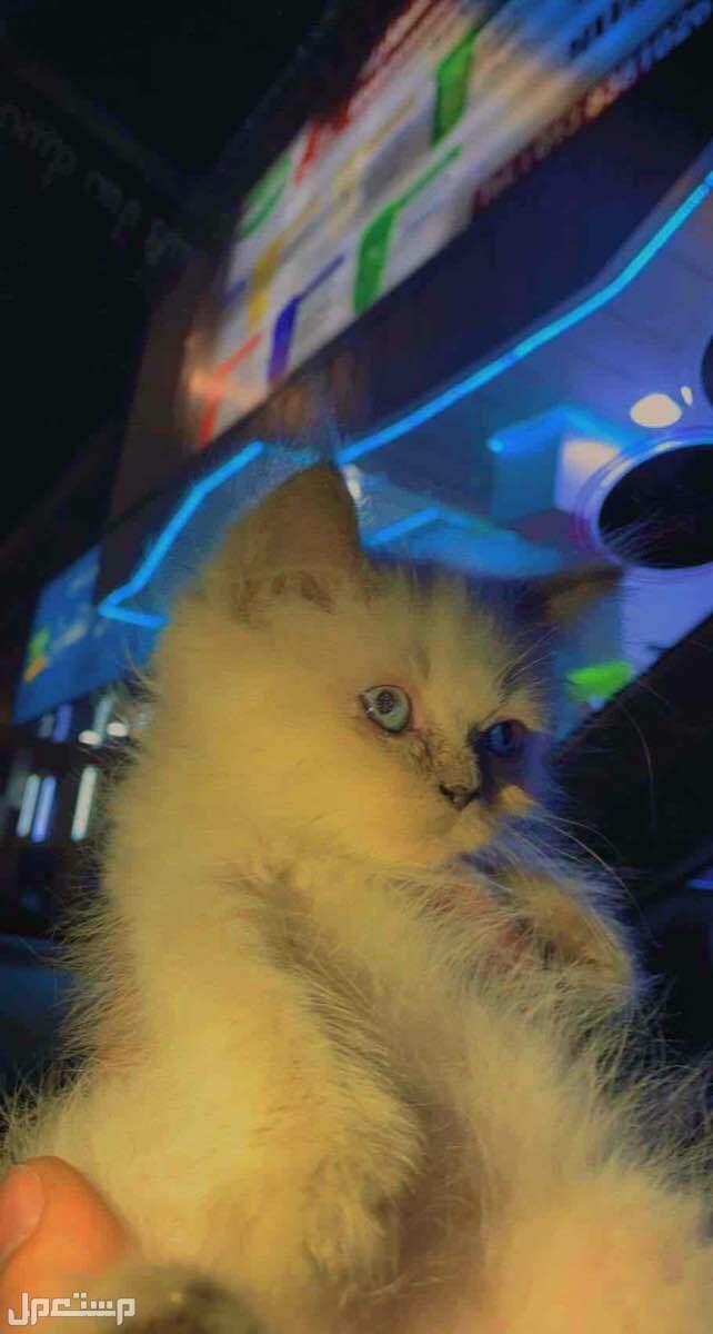 للبيع قطط صغار هملايا وشيرازي بسعر مناسب