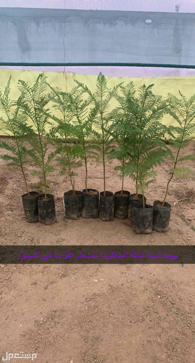 أشجار الجاكرندا بأسعار الجمله بخميس مشيط وضواحيها