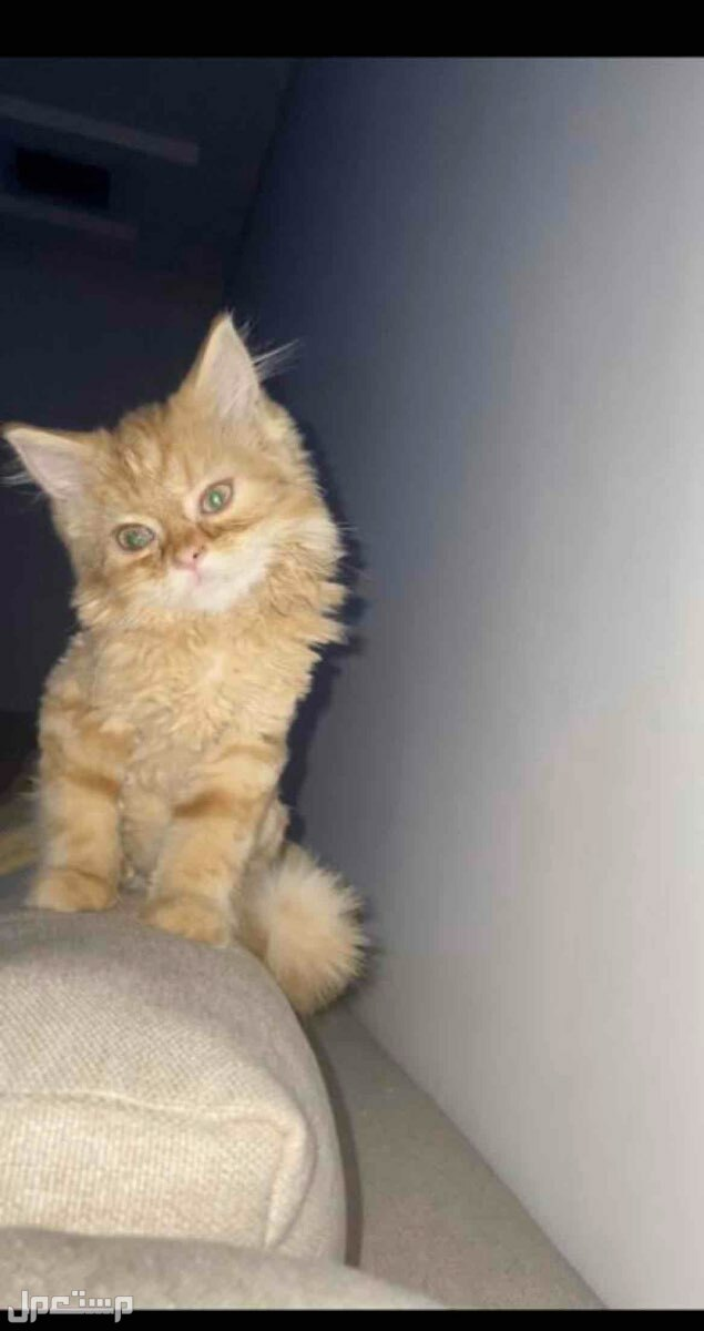 قط شيرازي اليف وصغير ومطعّم
