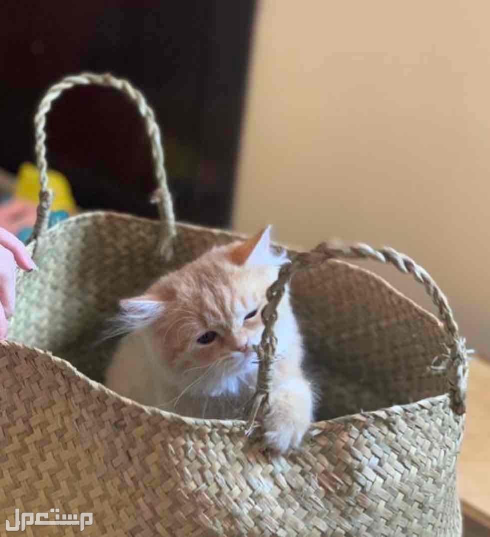 قطه شيرازي كيتن للبيع بسعر مناسب
