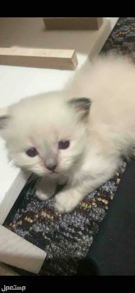 قطط شيرازي + هملايا للبيع اعلى سوم من نصيبه