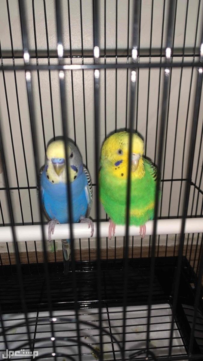  زوج طيور باجي