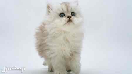 قطةاليفة للبيع