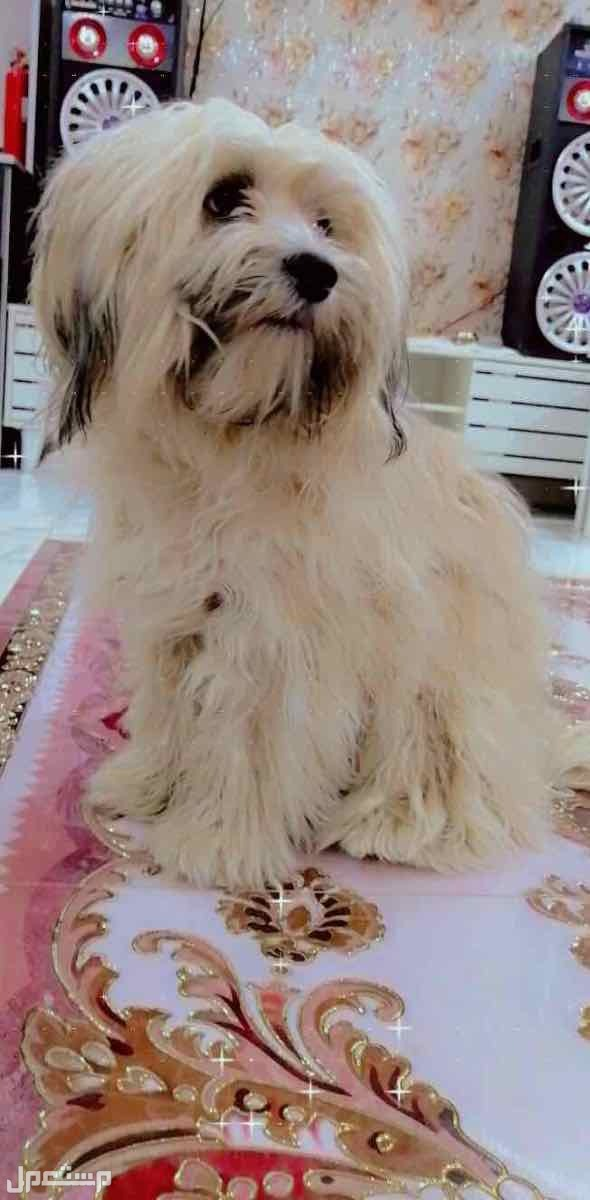 للبيع او البدل كلب شيتزو